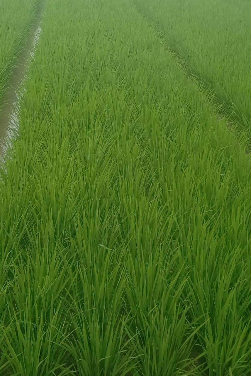 28 Hari Setelah Tanam sebelum penyemprotan Eco Farming