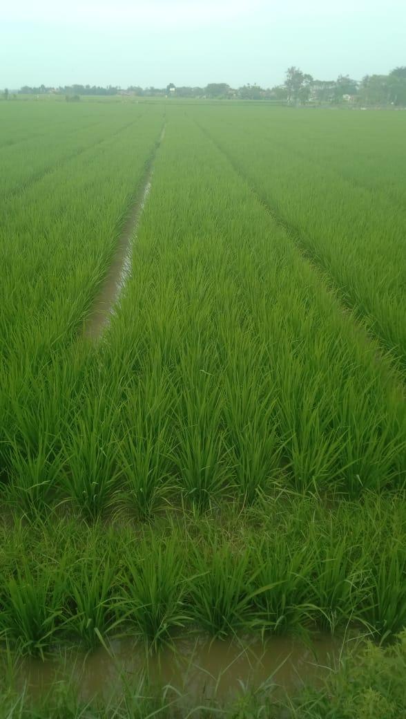 42 Hari setelah tanam sebelum penyemprotan Eco Farming